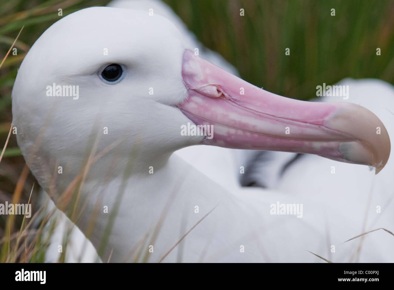 Wondering Albatross (Diomedea exulans) portrait of adult bird. South Georgia, South Atlantic Ocean. - Stock Image