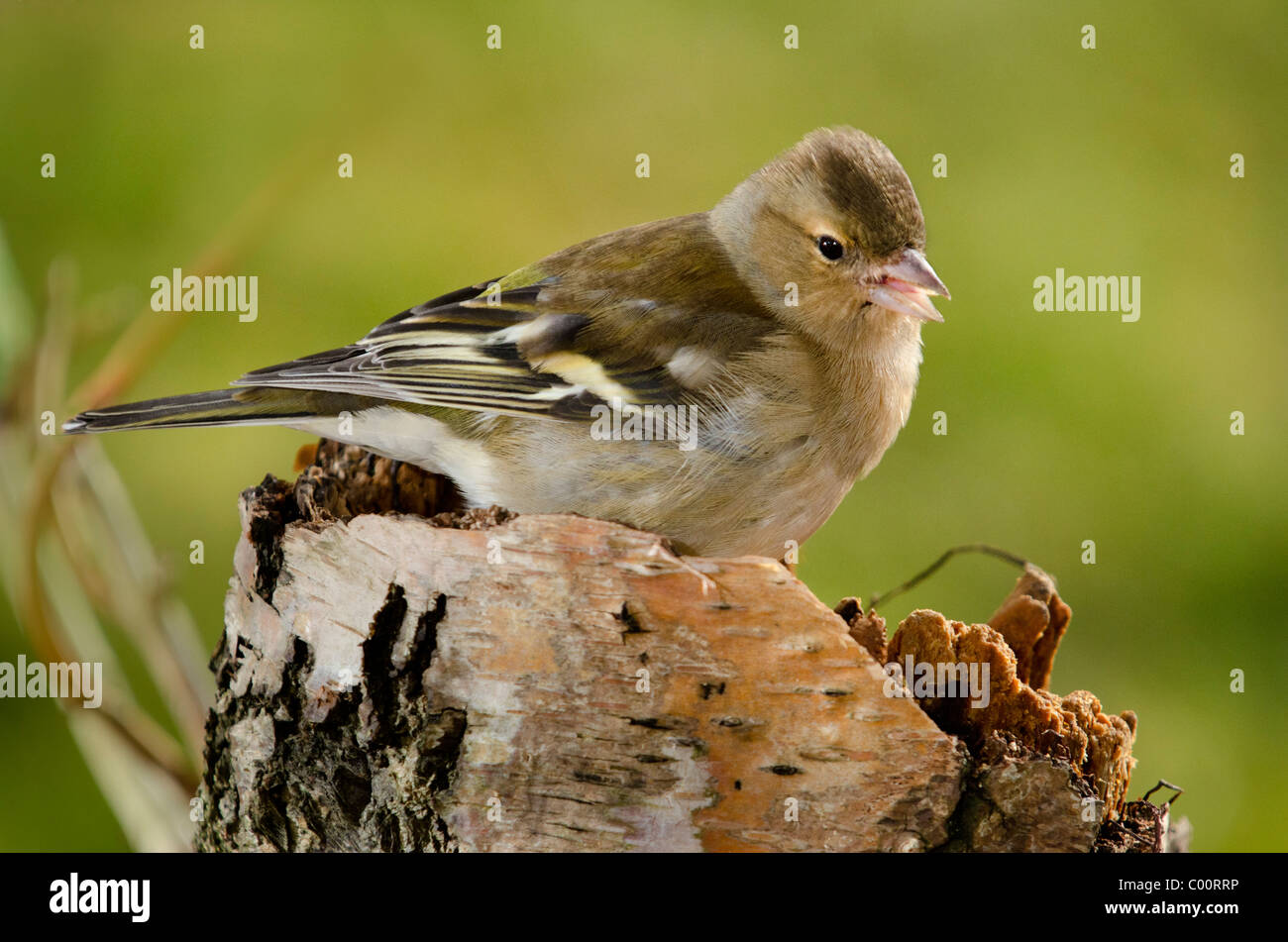 Female Chaffinch - Stock Image