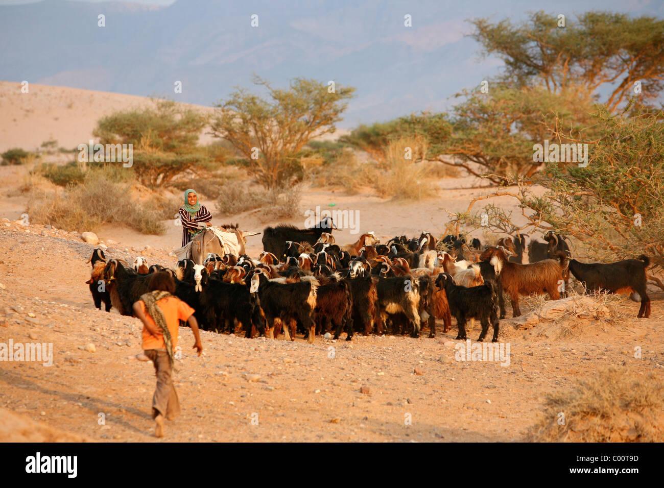 Shepherd and goats at Wadi Araba, Jordan. - Stock Image