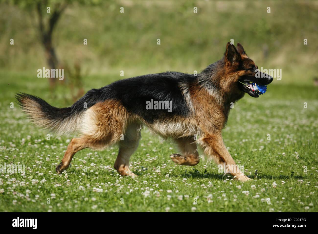 German Shepherd Deutscher Schäferhund Welt der Tiere Hunde