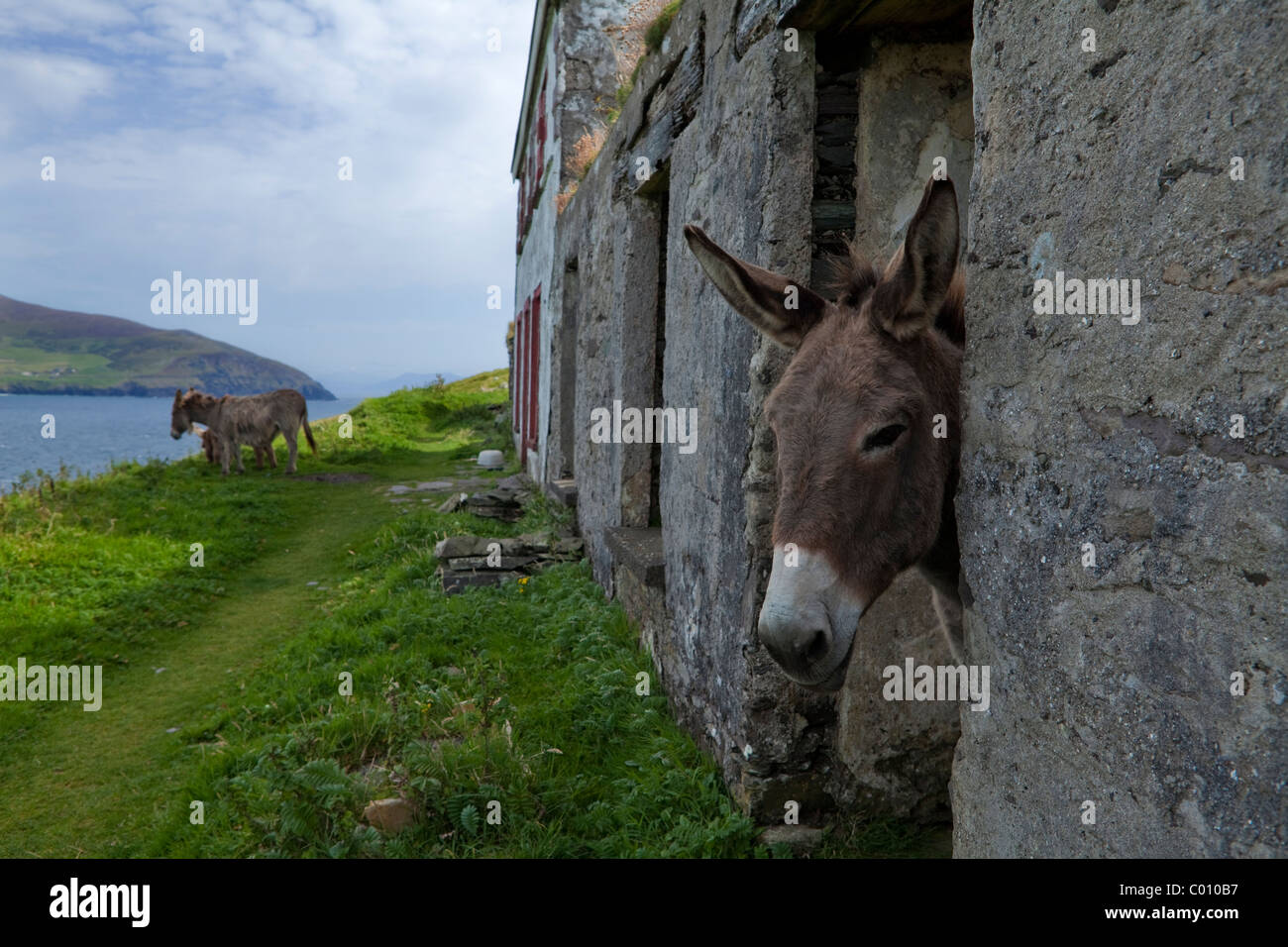 Donkeys in Evacuated Deserted Cottages on Great Blasket Island, The Blasket Islands, Off the Dingle Peninsula, County - Stock Image