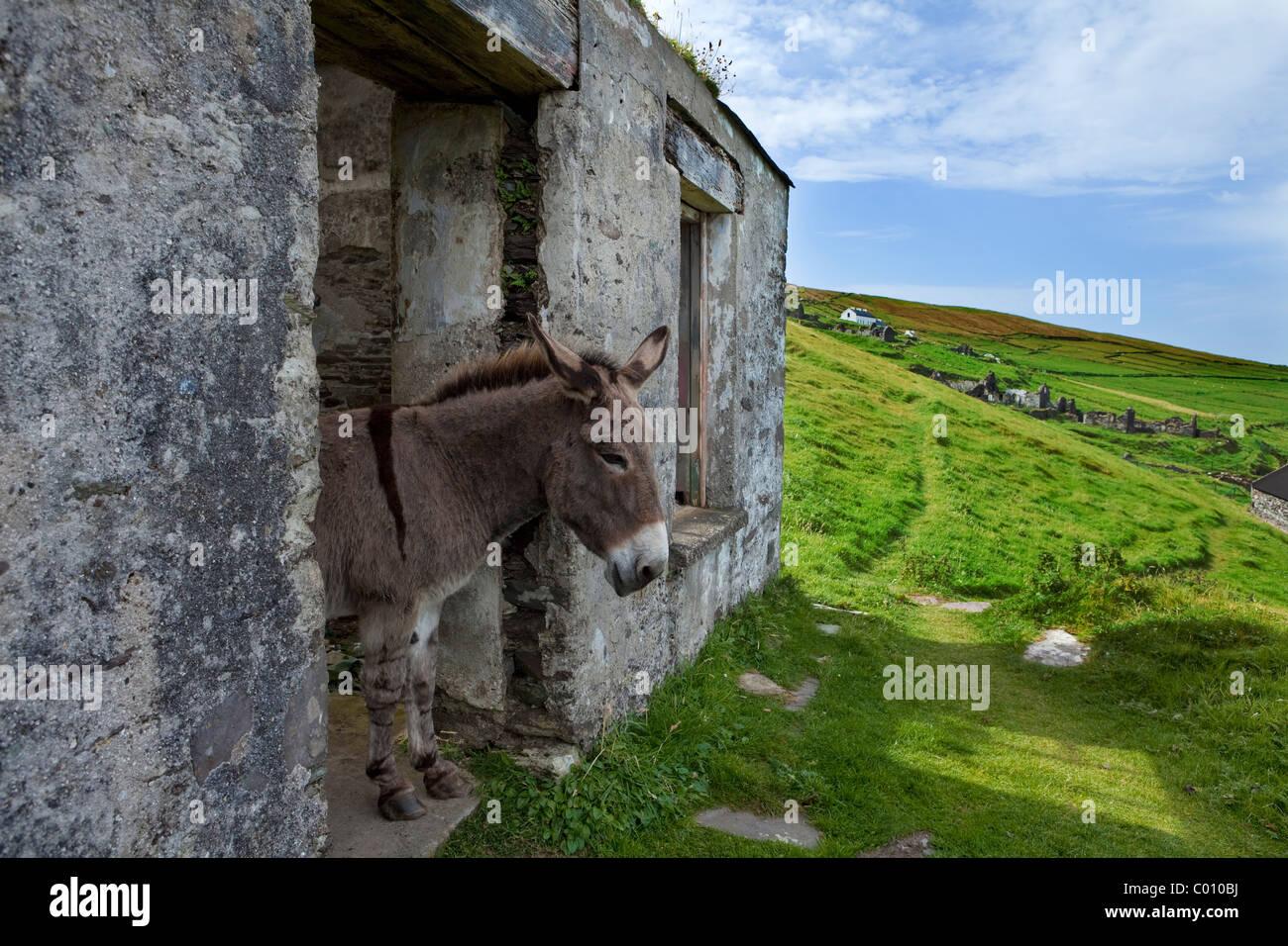 Donkey in Deserted Evacuated Cottages on Great Blasket Island, The Blasket Islands, Off the Dingle Peninsula, County - Stock Image