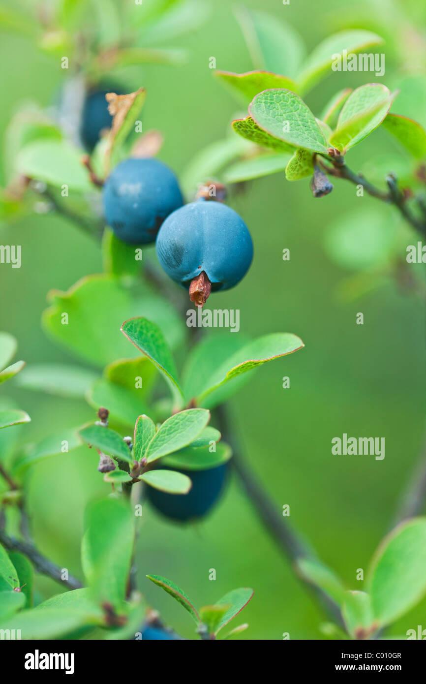 Blueberries in the wild - macro shot - Stock Image