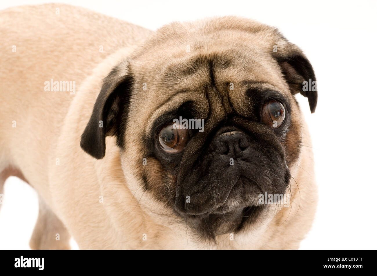 Pug with Expressive Face. - Stock Image