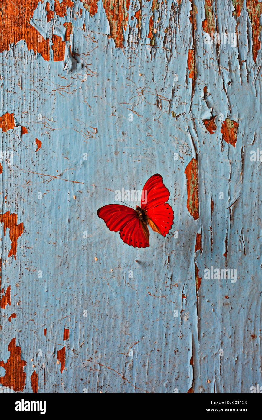 Red butterfly on old blue wall - Stock Image