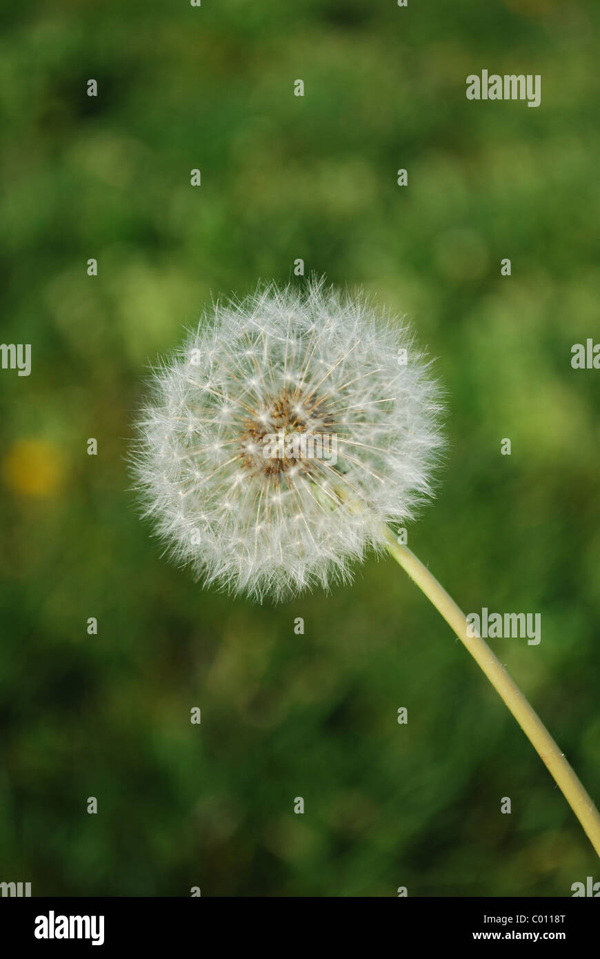 white dandelion on grass background - Stock Image