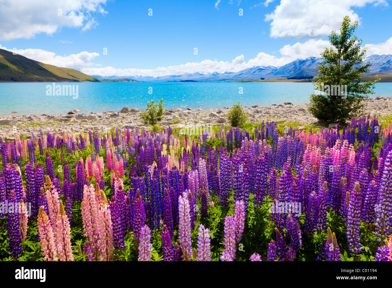 μακελειο νεα ζηλανδια News: Lupin Wildflowers On The Shore Of Lake Tekapo In New