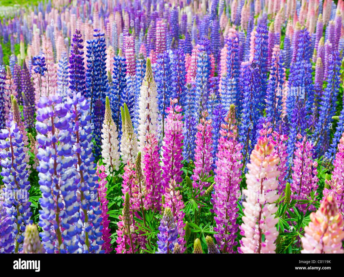 Lupin wildflowers in New Zealand Stock Photo