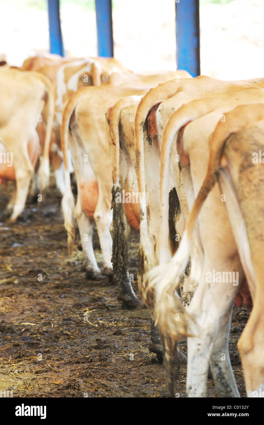 dozens of cows waiting in milking shed in local farm, showing their backside - Stock Image