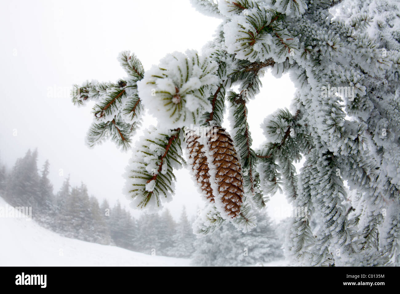 Frost covered cones of Norway Spruce (Picea abies) in the nature reserve of the Auvergne volcanoes (France). - Stock Image