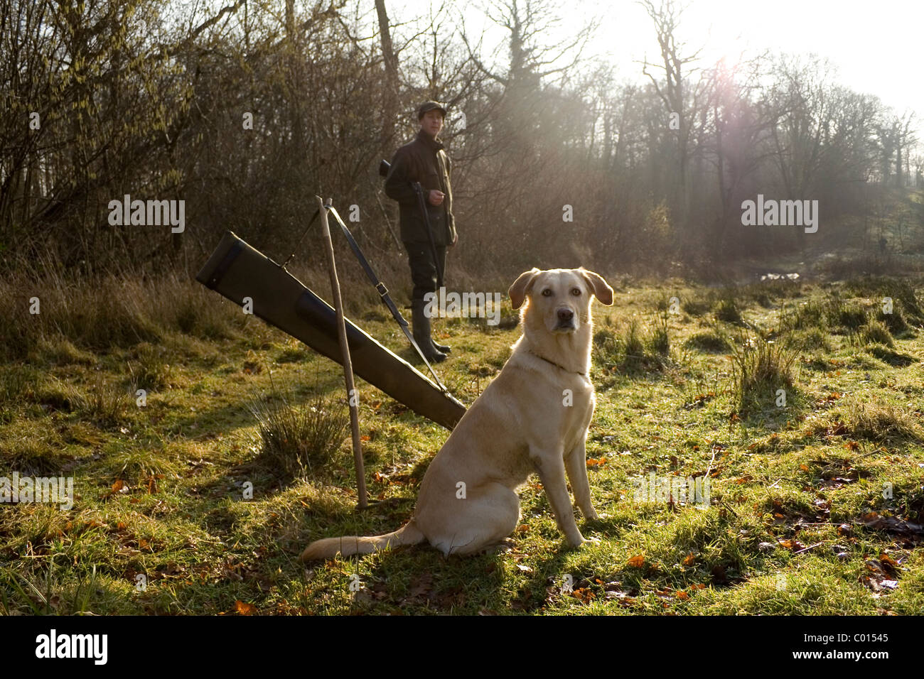 A well trained Labrador gun dog sits obediently awaiting instructions. - Stock Image
