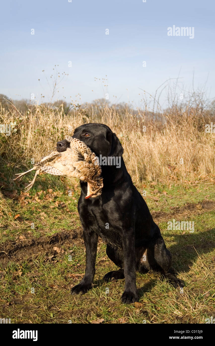 A black labrador retrieves a shot hen pheasant - Stock Image