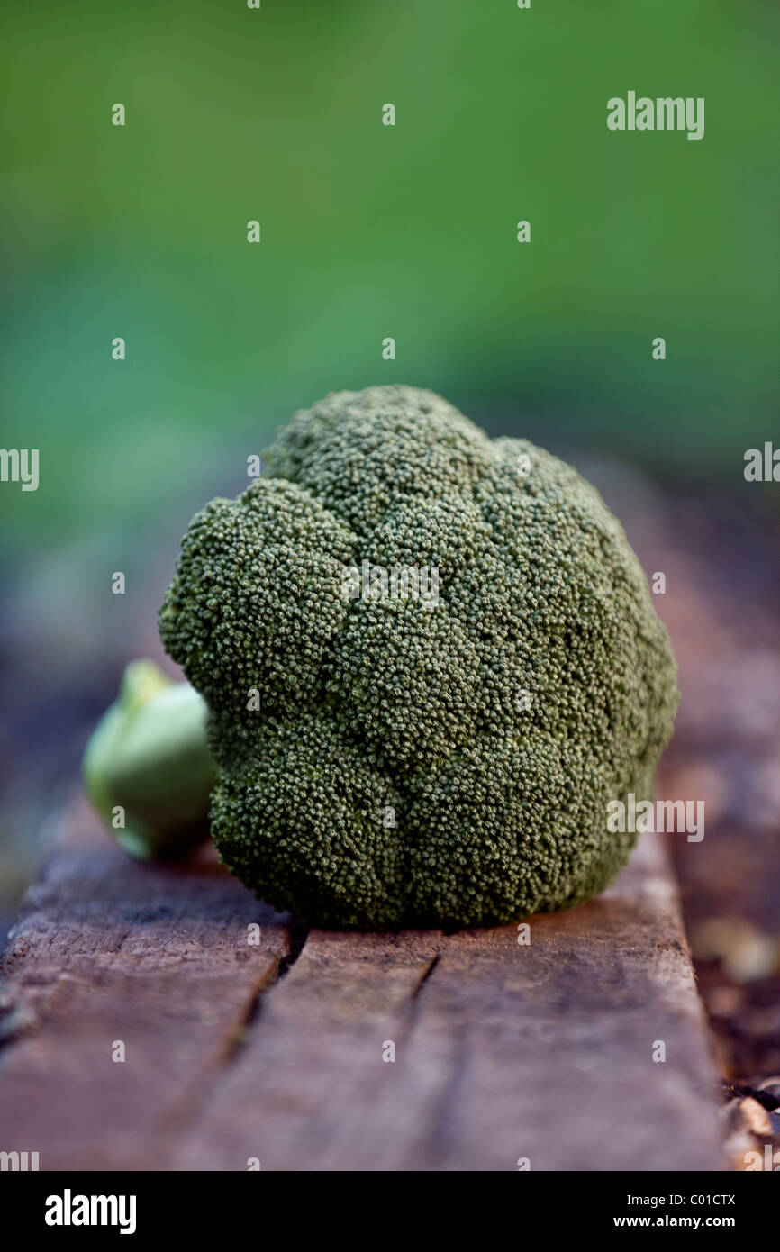 A head of broccoli in a garden - Stock Image
