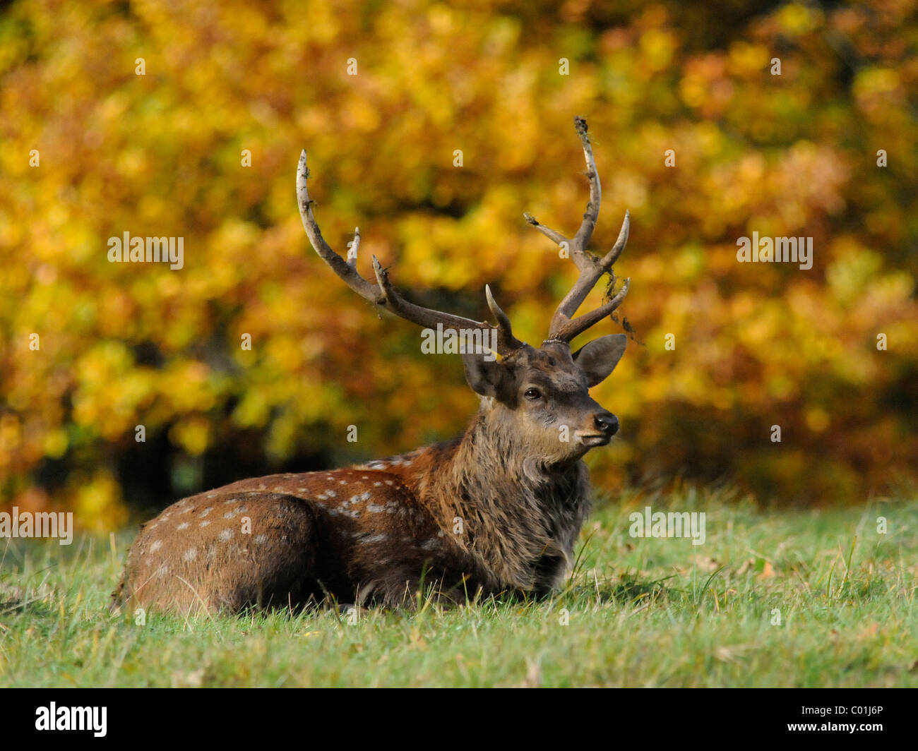 A young deer sitting by Autumn foliage in the countryside. - Stock Image