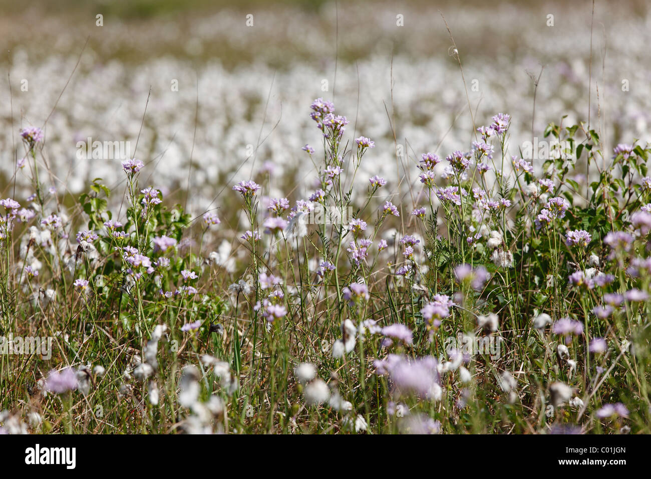 Cuckoo flower or Lady's smock (Cardamine pratensis), Ireland, Europe Stock Photo