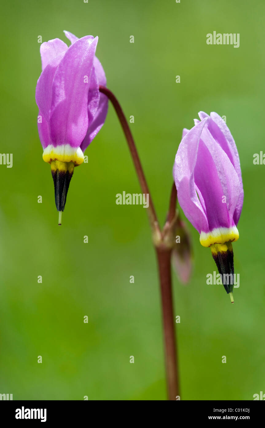 Pretty Shooting Star or Dark Throat Shooting Star (Docecatheon pulchellum), Yellowstone National Park, Wyoming, - Stock Image