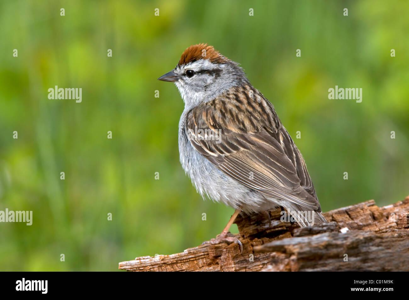 Chipping Sparrow (Spizella passerina), Yellowstone National Park, Wyoming, USA, North America - Stock Image
