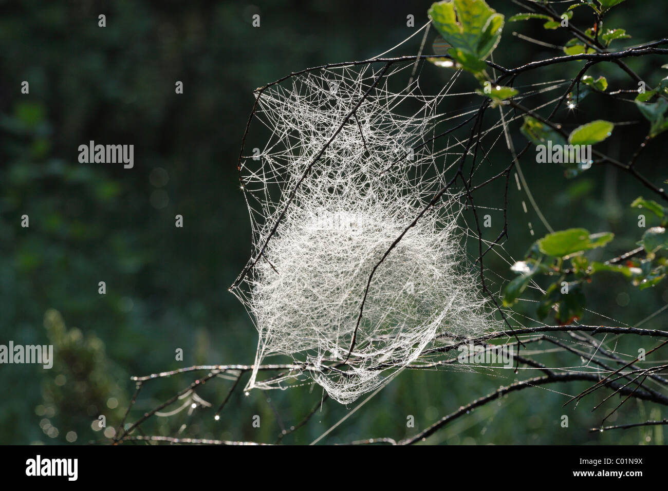 Spider web of a Sheet Weaver or Money Spider (Linyphiidae), Bavaria, Germany, Europe Stock Photo