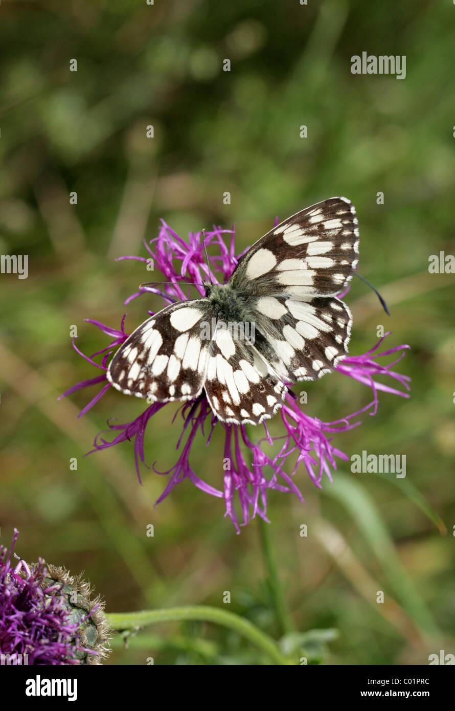 Marbled White Butterfly, Melanargia galathea, Nymphalidae, Lepidoptera. - Stock Image
