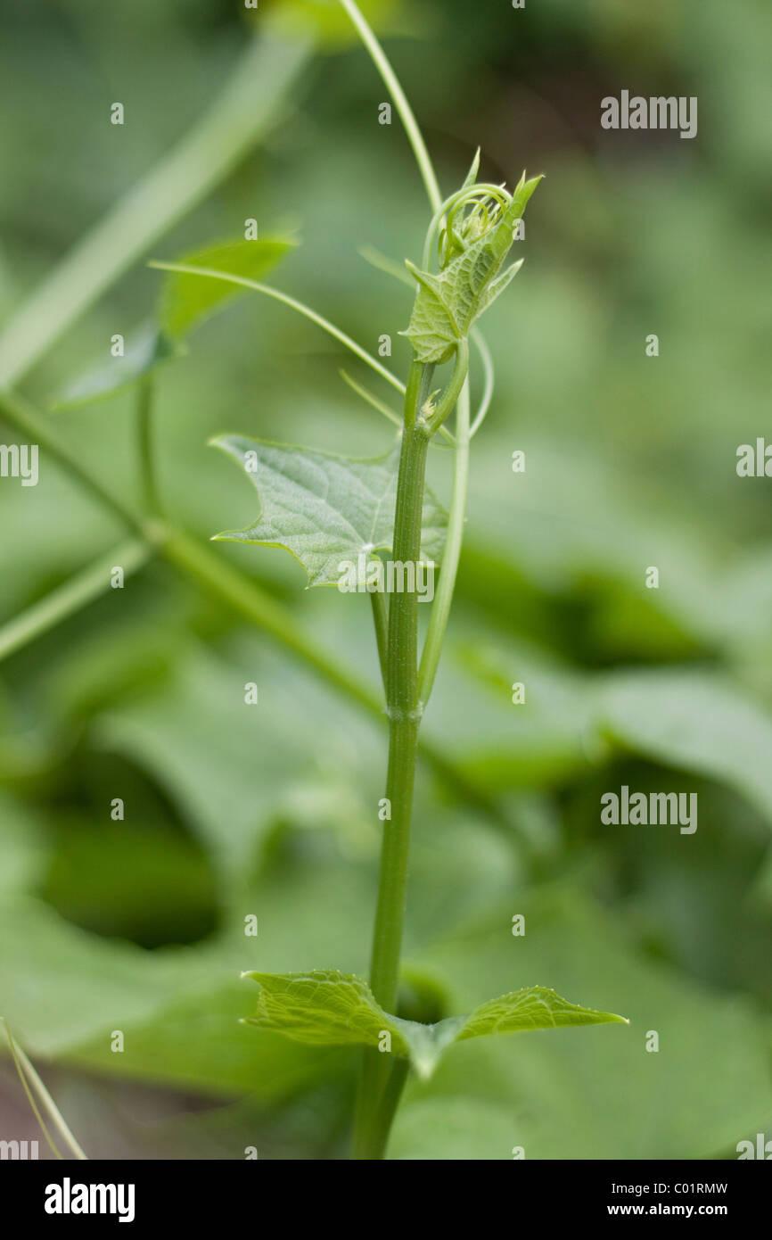 Chayote (Sechium edule) vine plant, Beau-Bassin, Mauritius, Africa - Stock Image