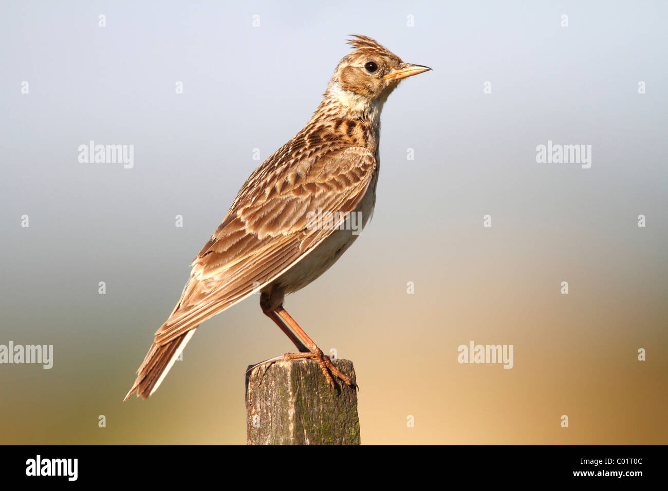 Skylark (Alauda arvensis) sitting on a fence post - Stock Image