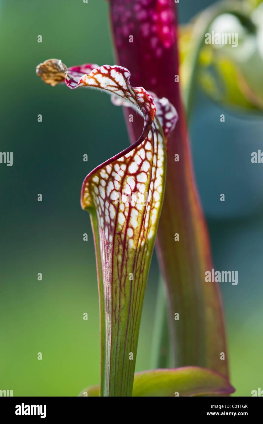 Pitcher plant (Sarracenia), carnivorous plant - Stock Image