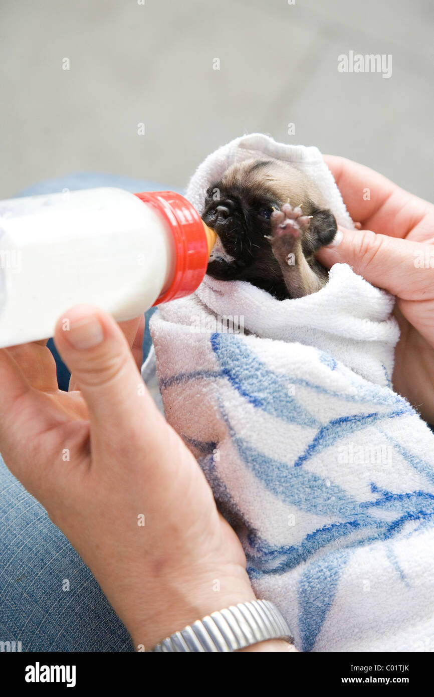 A two-week-old pug puppy being bottle-fed - Stock Image
