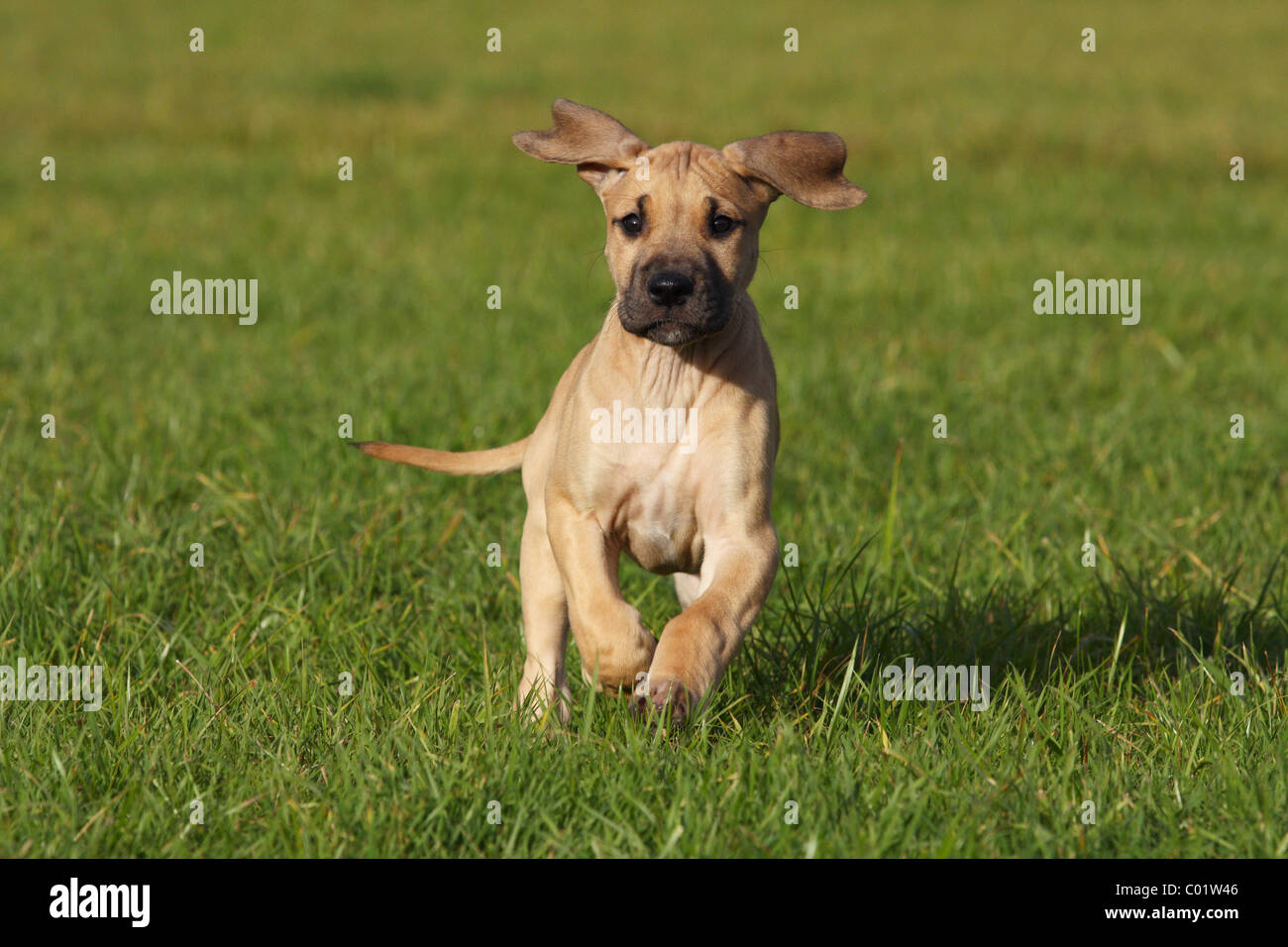 great dane puppy stock photos great dane puppy stock images alamy