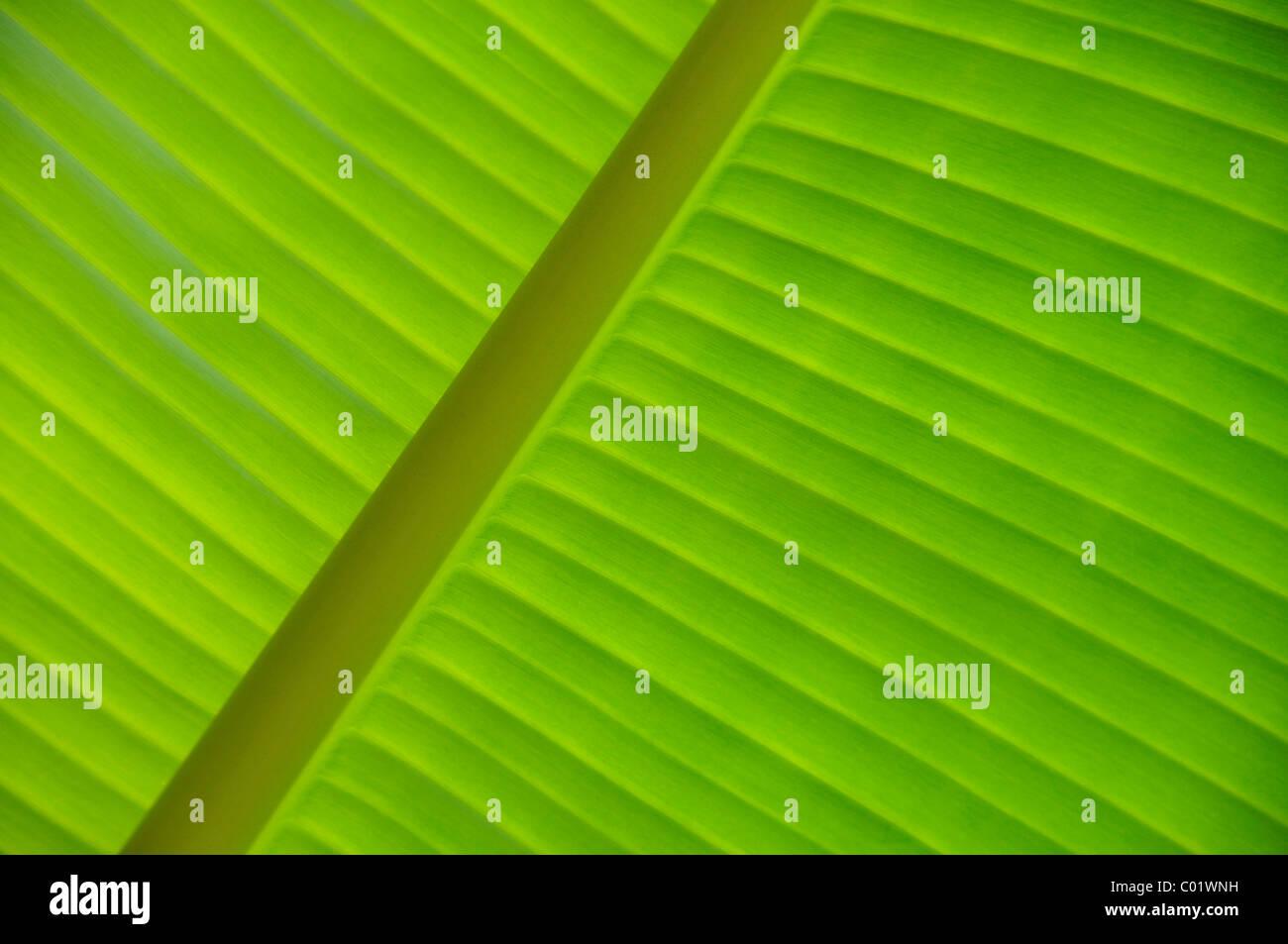 Banana leaf (Musa), detailed view, Vietnam, Southeast Asia - Stock Image