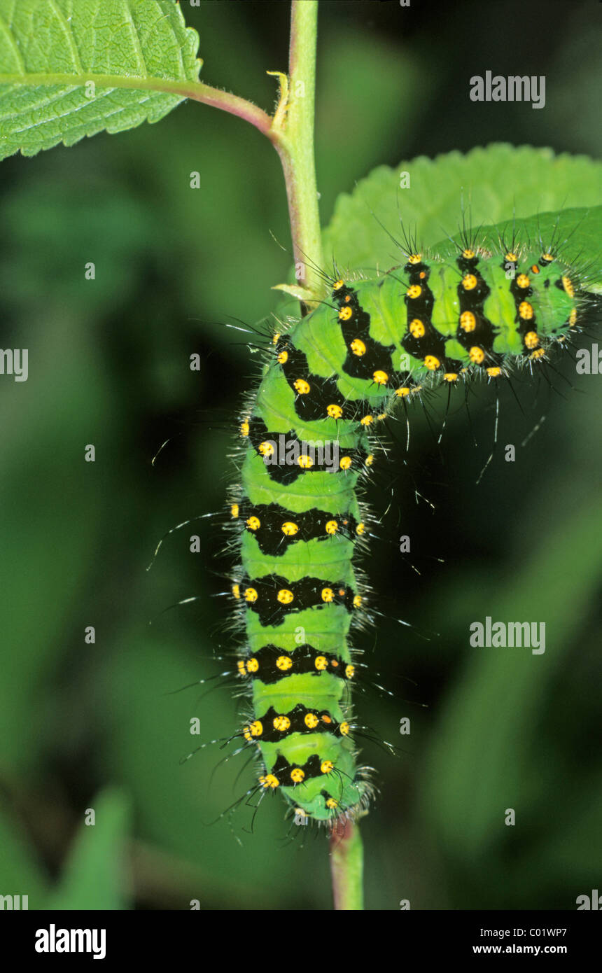 Small Emperor Moth (Saturnia pavonia), adult caterpillar feeding on a blackthorn leaf - Stock Image