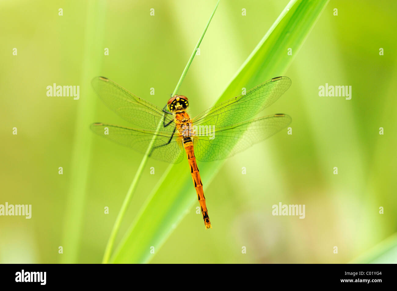 Spotted Darter (Sympetrum depressiusculum) on reed stem - Stock Image