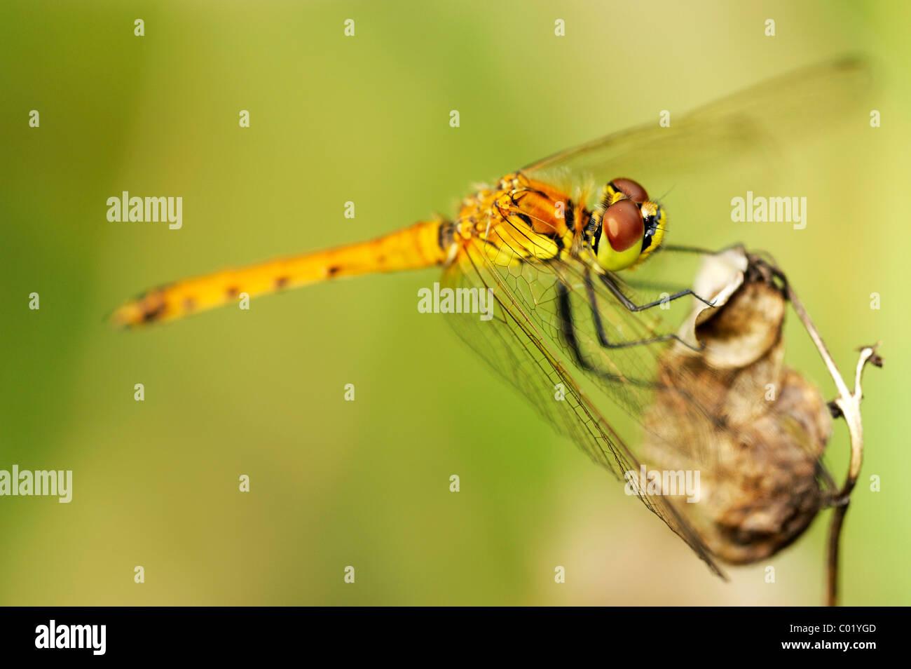 Spotted Darter (Sympetrum depressiusculum) Stock Photo