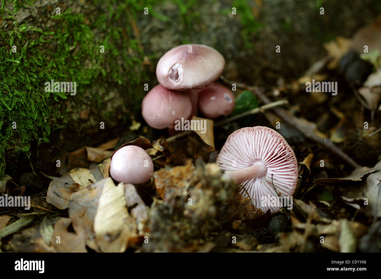 Earth Inocybe or Lilac Fibrecap, Inocybe geophylla var lilacena, Cortinariaceae. Growing in Beech Leaf Litter, August, - Stock Image