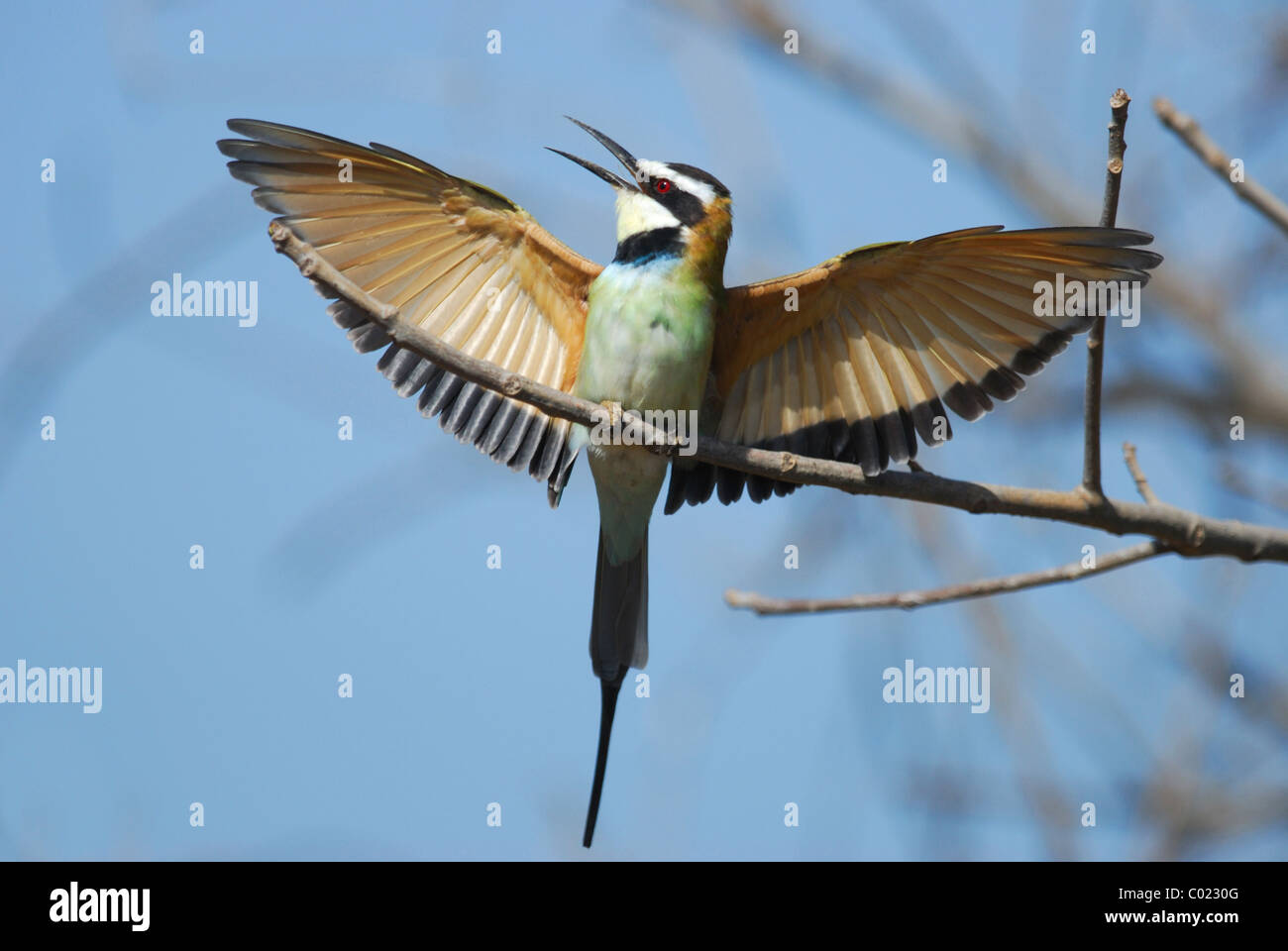 White-throated Bee-eater (Merops albicollis) displaying in The Gambia. - Stock Image