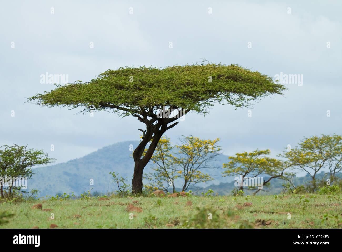 Landscape acacia tree in Hluhluwe-iMfolozi Park - Stock Image