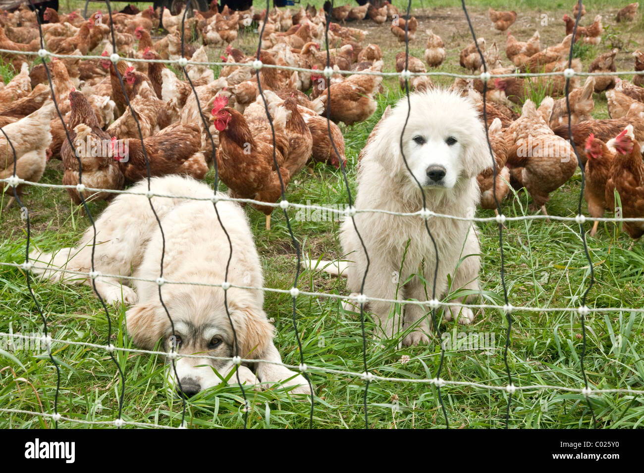 Great Pyrenees young pups, free range chickens, egg production. - Stock Image