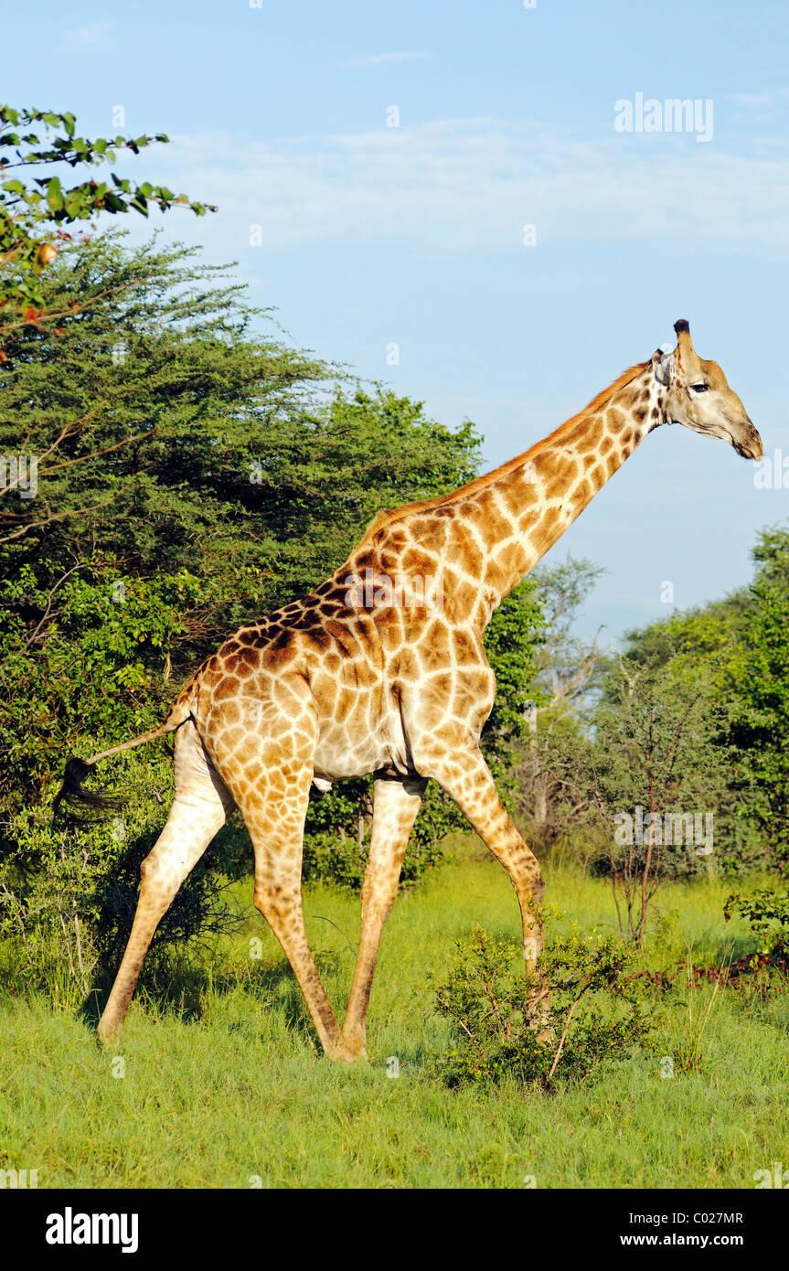 Giraffe (Giraffa camelopardalis), Moremi National Park, Okavango Delta, Botswana, Africa - Stock Image