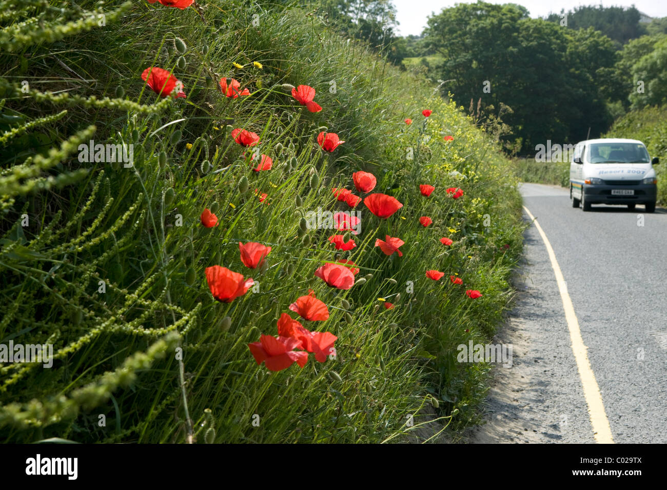 Poppies growing wild on a roadside verge - Stock Image