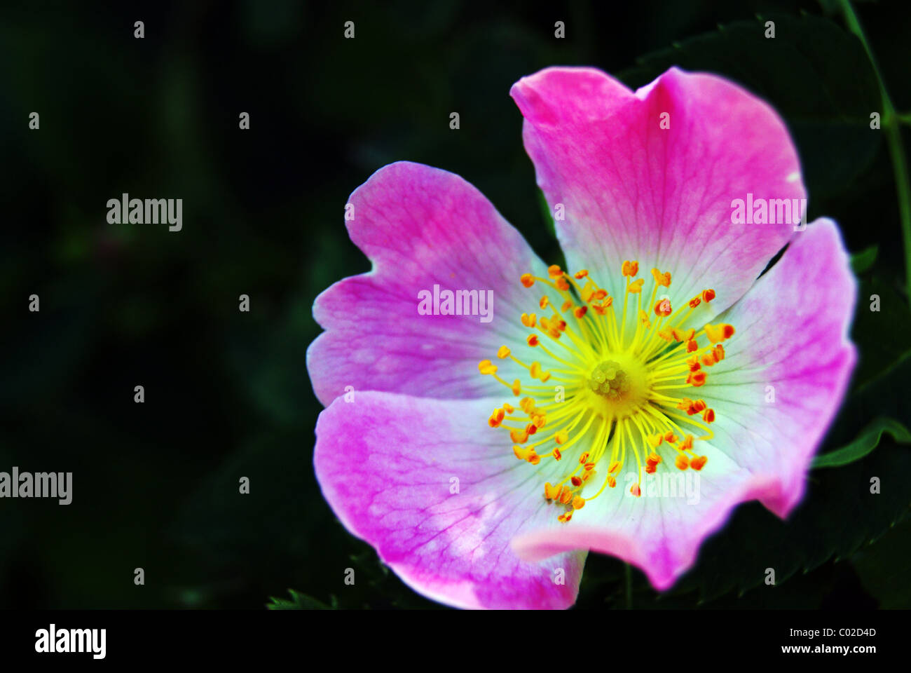 Small Pink Flower With Yellow Center Stock Photo 34474957 Alamy