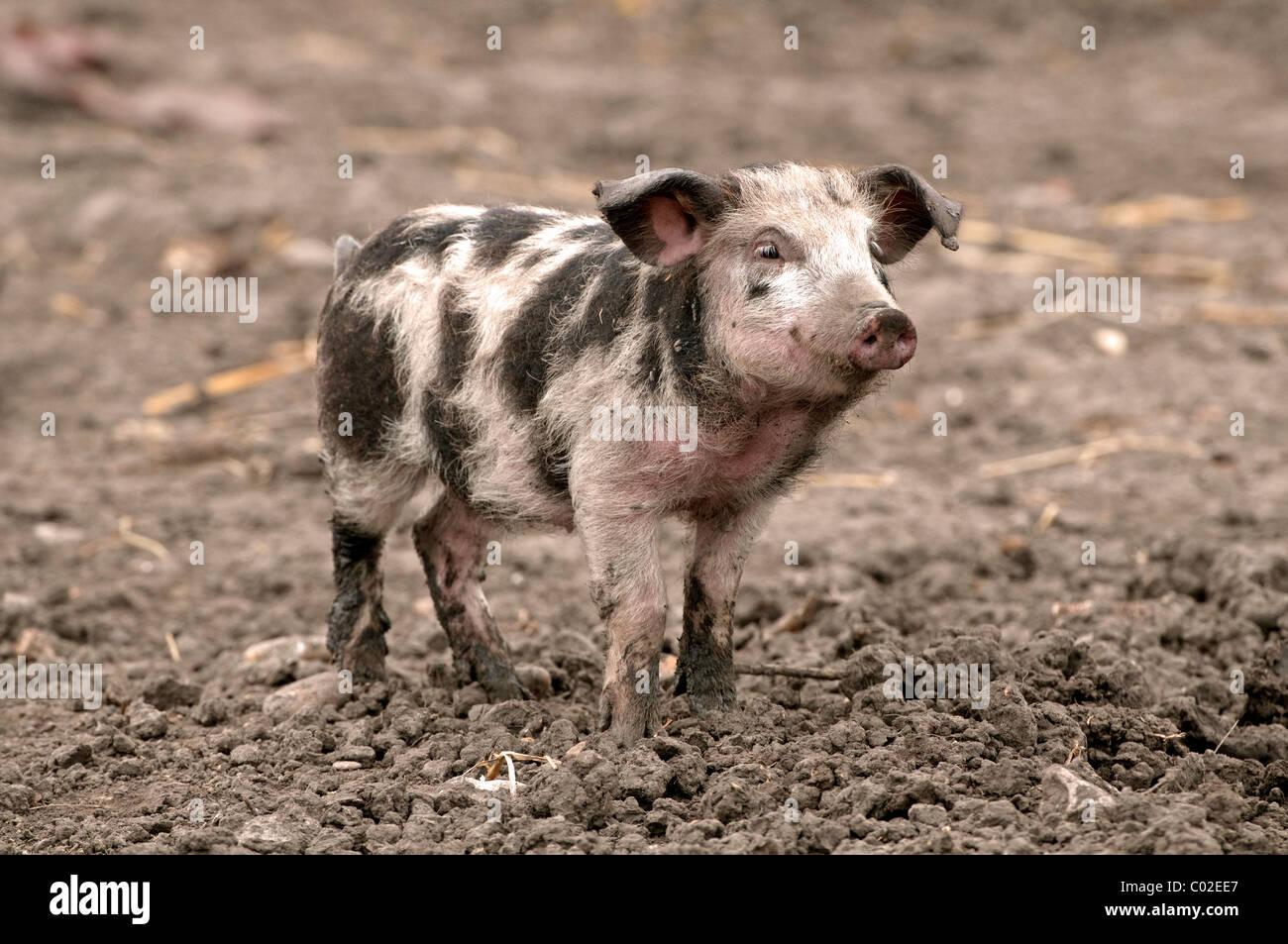 Domestic Pig, Turopolje pig (Sus scrofa domestica), piglet. Rare breed from Croatia. - Stock Image