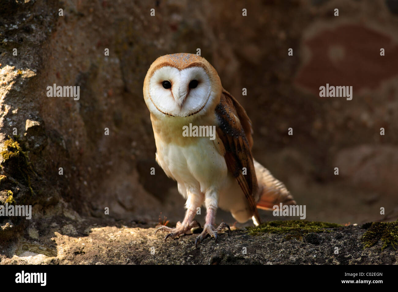 Barn Owl (Tyto alba), adult, Germany, Europe Stock Photo