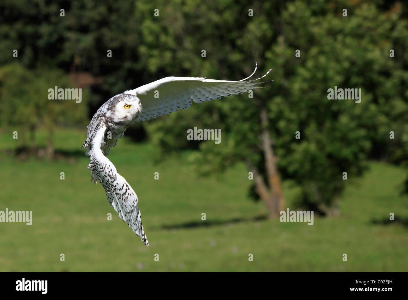 Barn Owl (Tyto alba), flying adult, Germany, Europe Stock Photo