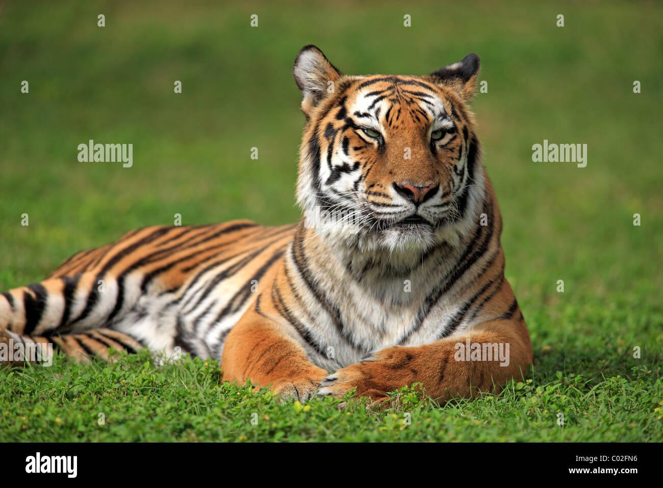 Bengal tiger or Royal Bengal tiger (Panthera tigris tigris), adult, India, Asia Stock Photo