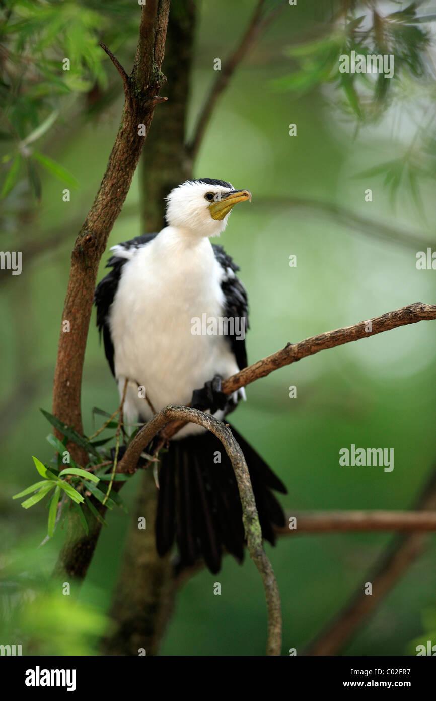 Little Pied Cormorant, Little Shag or Kawaupaka (Phalacrocorax melanoleucos), adult on tree, Australia - Stock Image