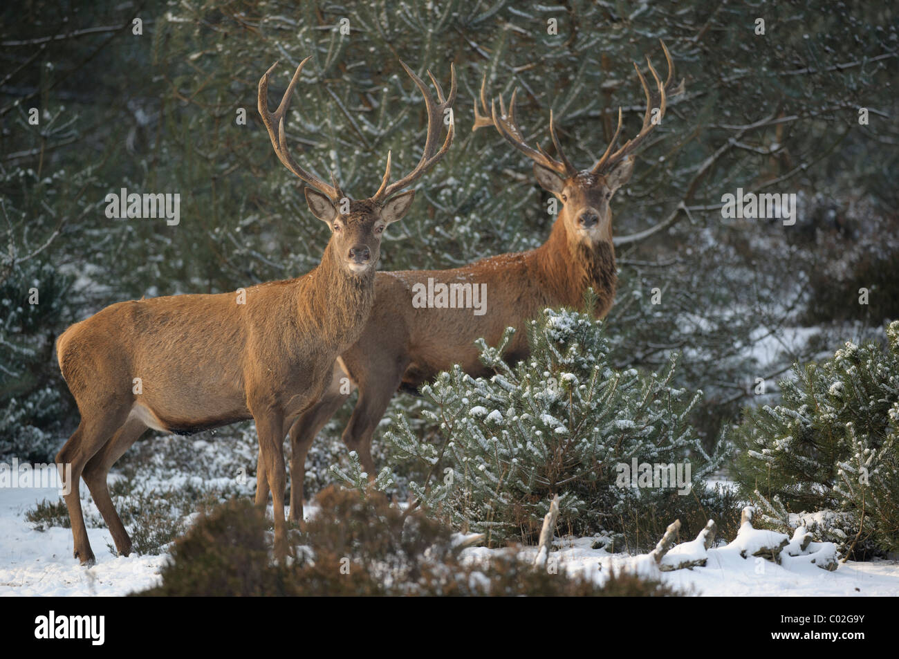 Red Deer (Cervus elaphus). Two stags standing in snowy pine forest while looking into the camera, Veluwe, Netherlands. - Stock Image
