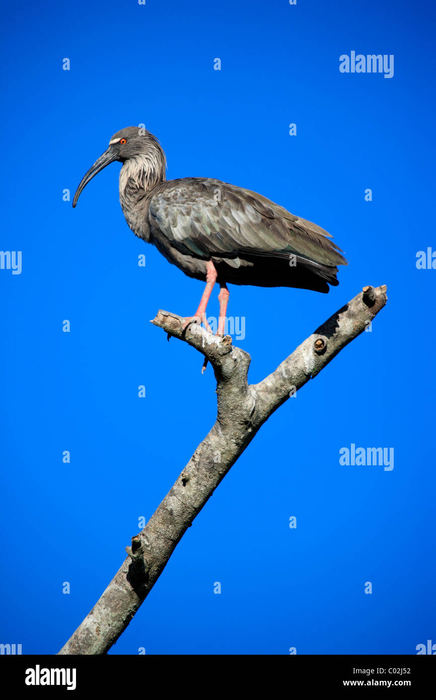 Plumbeous ibis (Theristicus caerulescens), adult, perched on a tree, Pantanal wetland, Brazil, South America - Stock Image