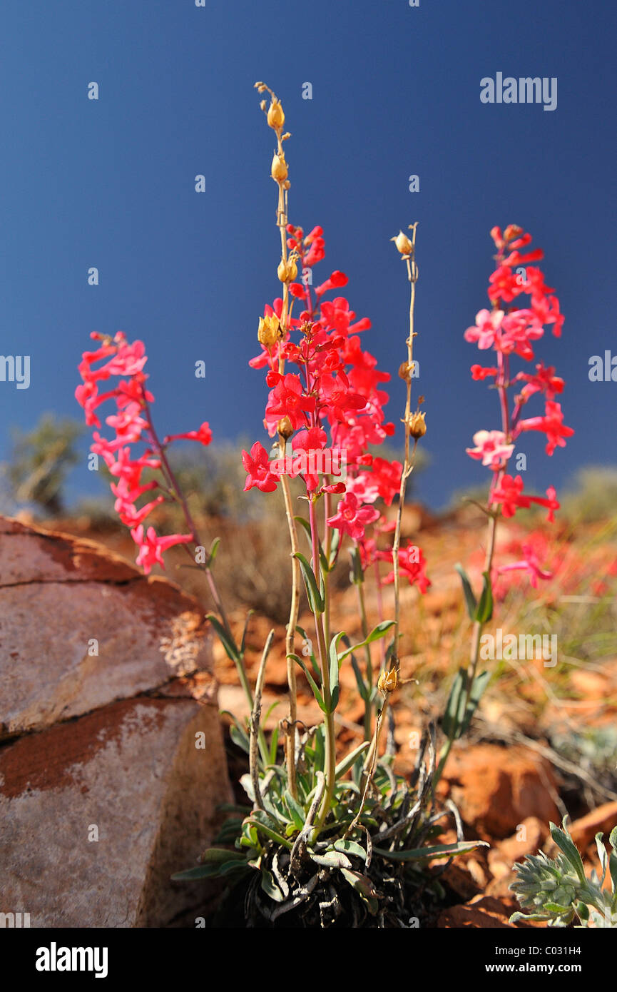 Scarlet gilia flowers growing in CanyonLands National Park, Utah, USA - Stock Image