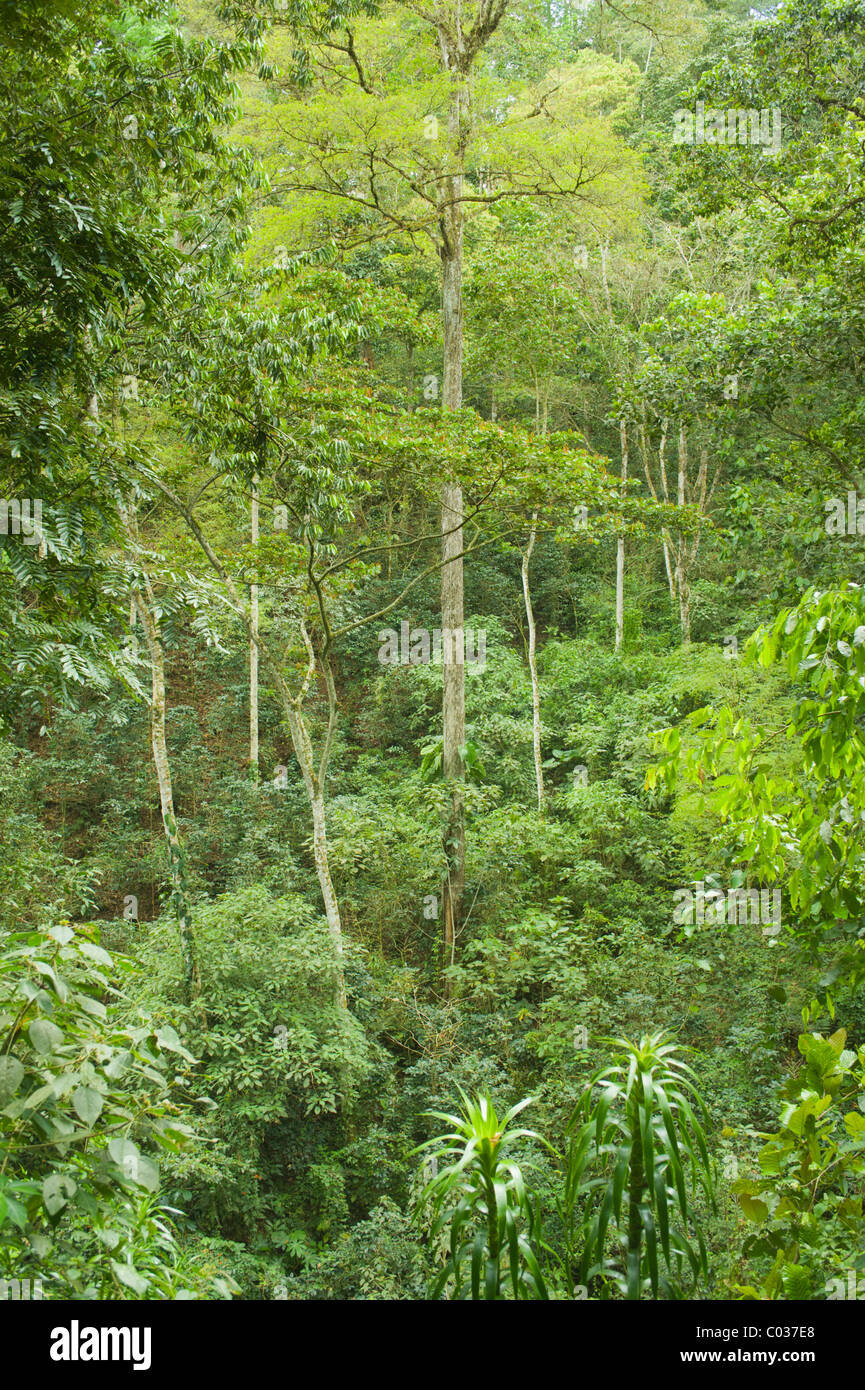 Tropical forest on the island of Roatan, Honduras, Central America - Stock Image