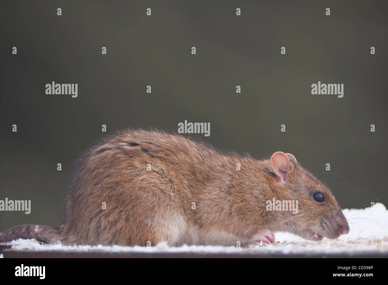 A Common Rat/ Brown Rat/ Norway Rat (Rattus norvegicus) feeding on a bird table with snow in the Uk - Stock Image