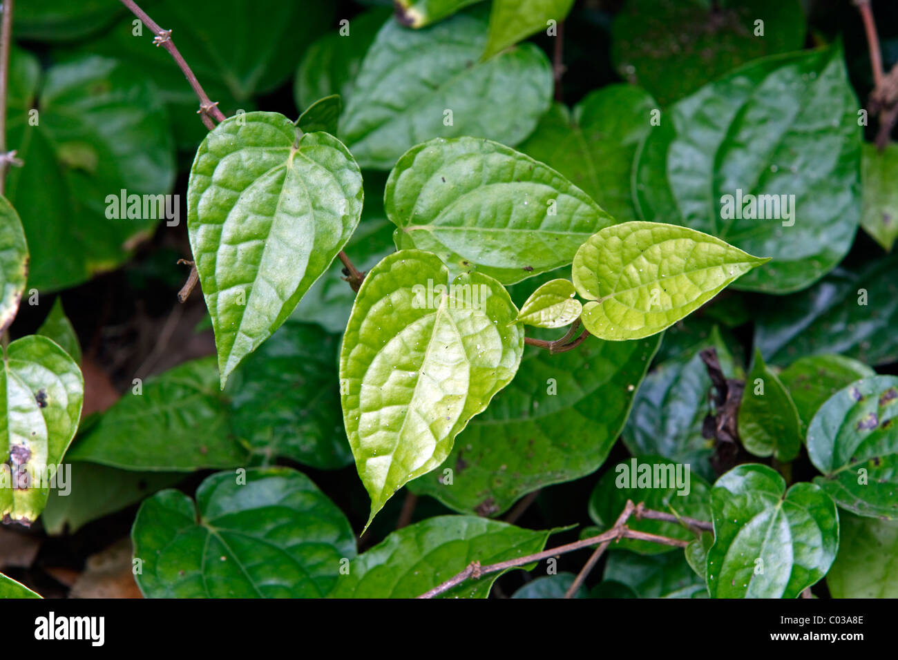 Betel (Piper betle), Singapore, Asia - Stock Image